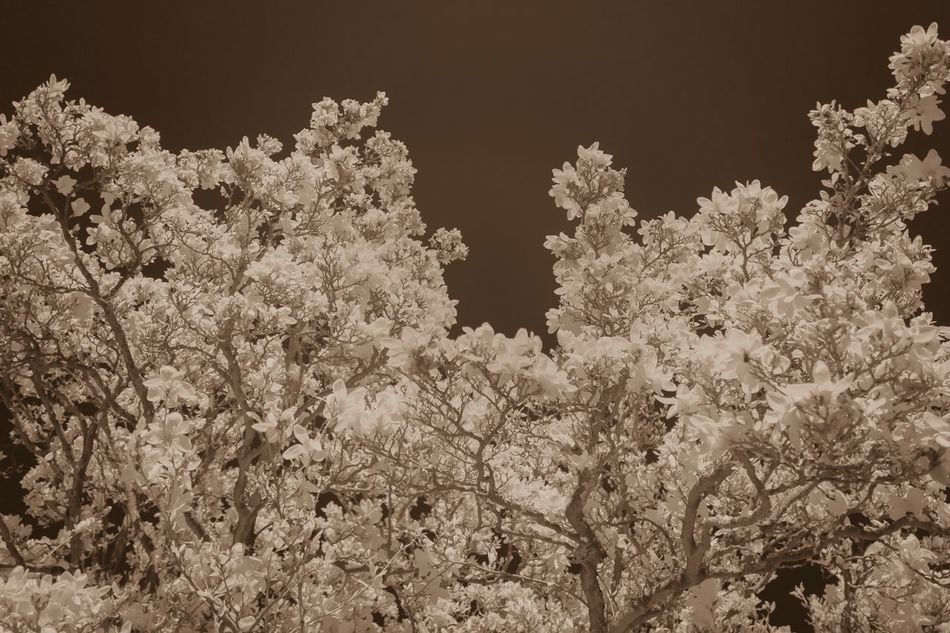 Tree Growth Flower Nature Fragility Beauty In Nature No People Blossom Low Angle View Outdoors Branch Day Freshness Close-up Infrared