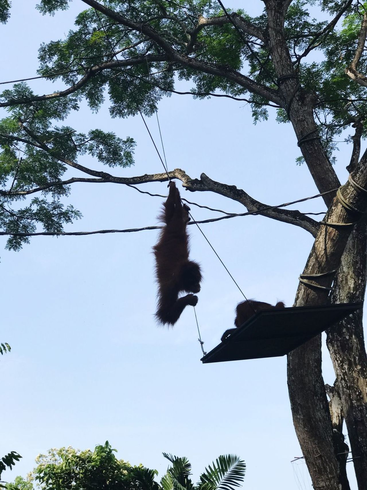Tree Low Angle View Hanging Branch Bat - Animal No People Day Nature Outdoors One Animal Animal Themes Sky Clear Sky Orangutan Ape Singapore Singapore Zoological Garden Singapore Zoo