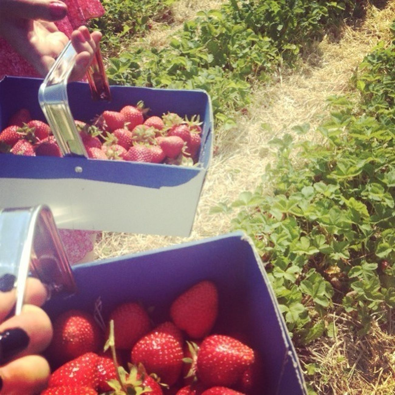 Went strawberry picking!! Summertime Strawberries Hanging Out