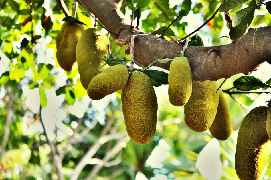 Jackfruit- A fruit a vegetable Jackfruit 💜 💜 💜 Seasonal Fruit 👀 Jackfruit Jackfruits Green Jackfruit Indian Fruits Jackfruit Tree Tree With Fruits
