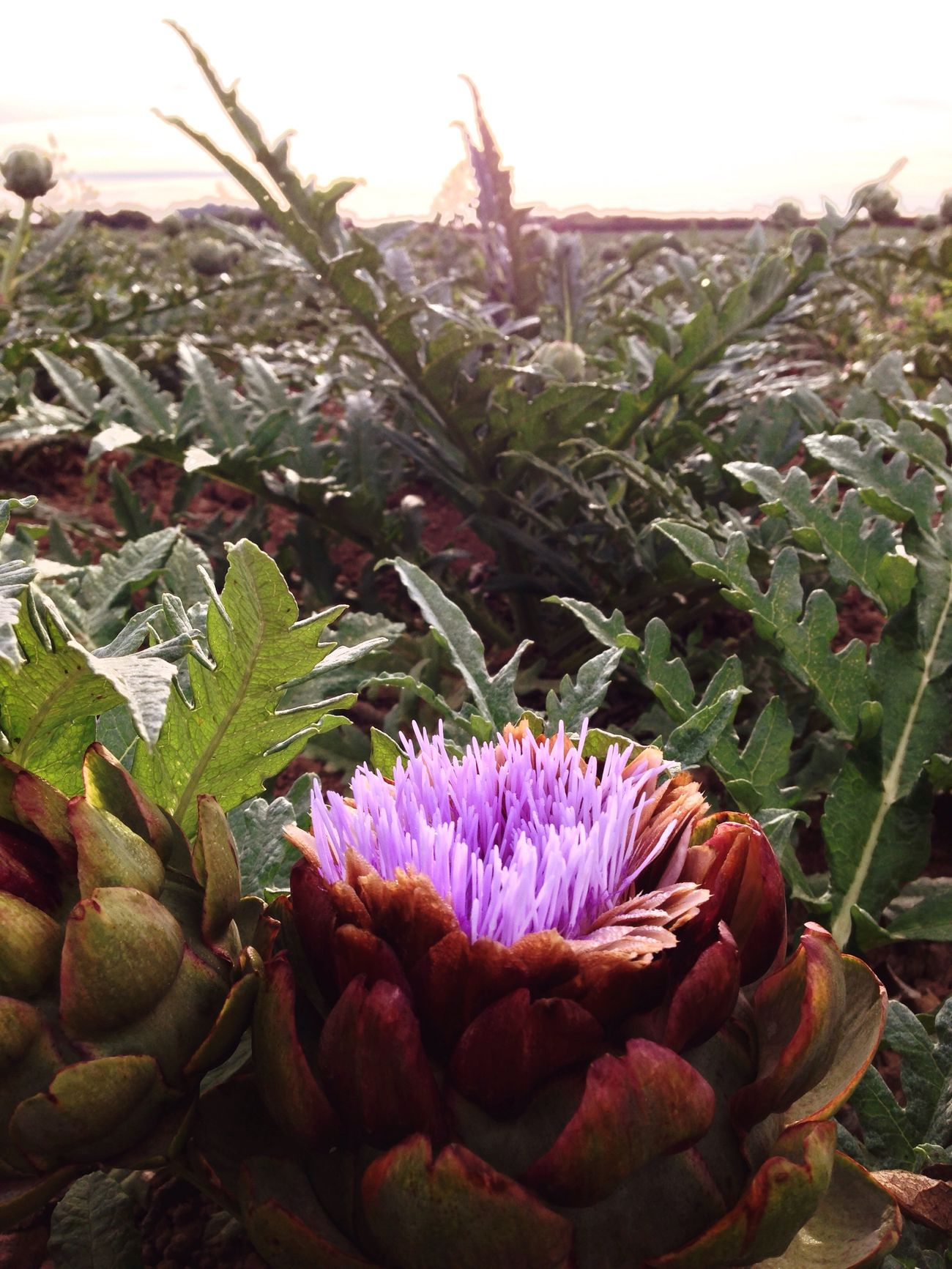 Flower Collection Beautiful Nature Floweroftheday Nature_collection artichoke flow et