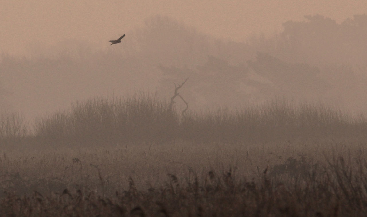 A Marsh Harrier quarters a reed bed in the winters dawn light, north Norfolk. Animals In The Wild Beauty In Nature Bird Dawn Flying Hunting Landscape Marsh Harrier Nature No People Norfolk Reeds Winter