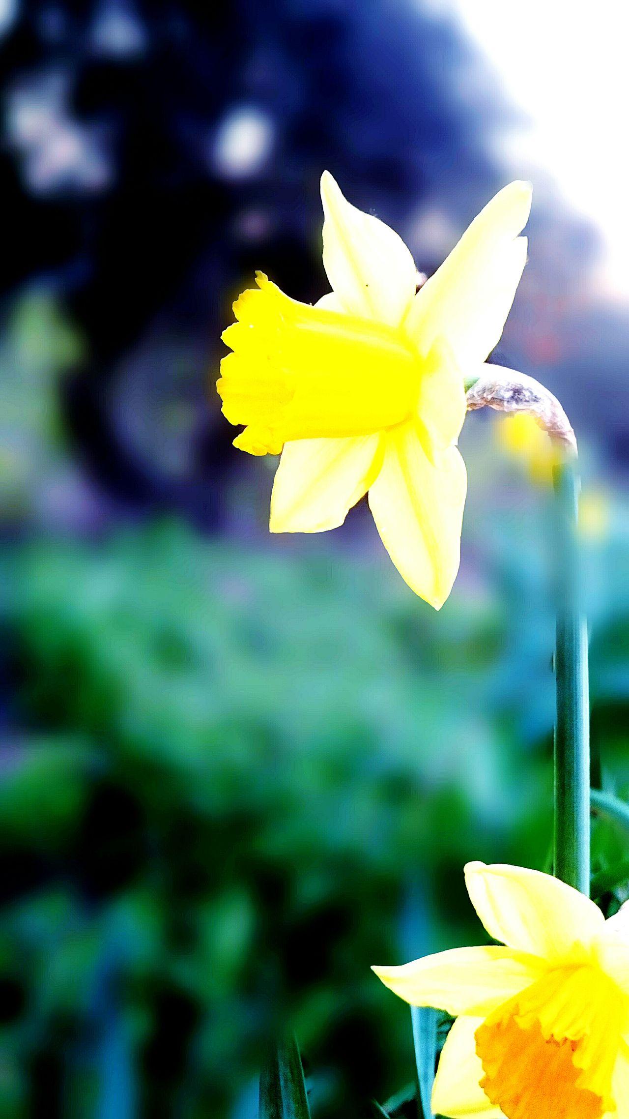 Flower Bure Blurbackground Yellow