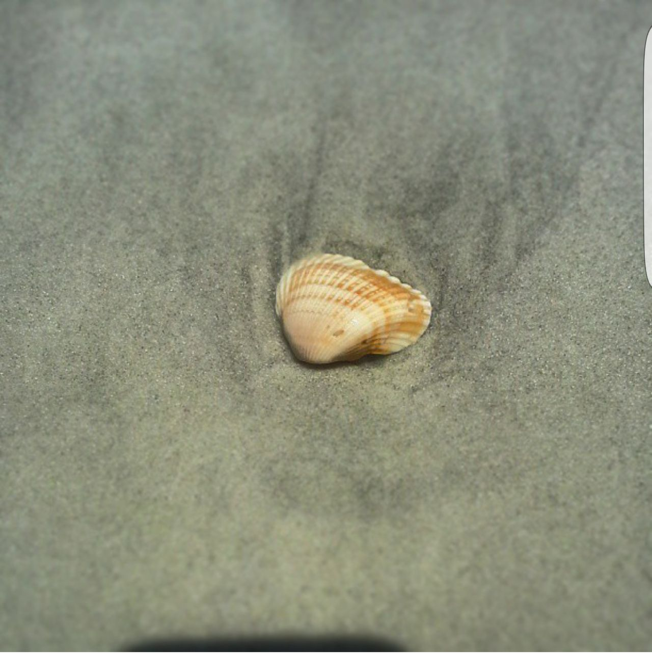 Seashell Beach Beach Photography Beach Life Marineland Marine Life Shells Still Life StillLifePhotography Amateur Amateur Photography Beach Photograpy Florida Floridas Beaches Miles Of Beaches Summertime Summer Vacation Beach Day Shell Hunting