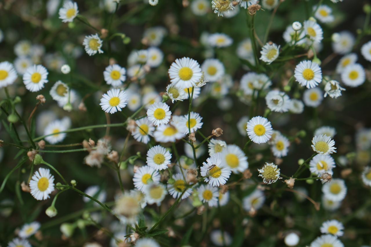 Abundance Beauty In Nature Blossom Botany Close-up Daisies Daisy Day Flower Flower Head Flowering Plant Fragility Freshness Growth In Bloom Nature No People Outdoors Petal Plant Season  Selective Focus Springtime Stem White Color