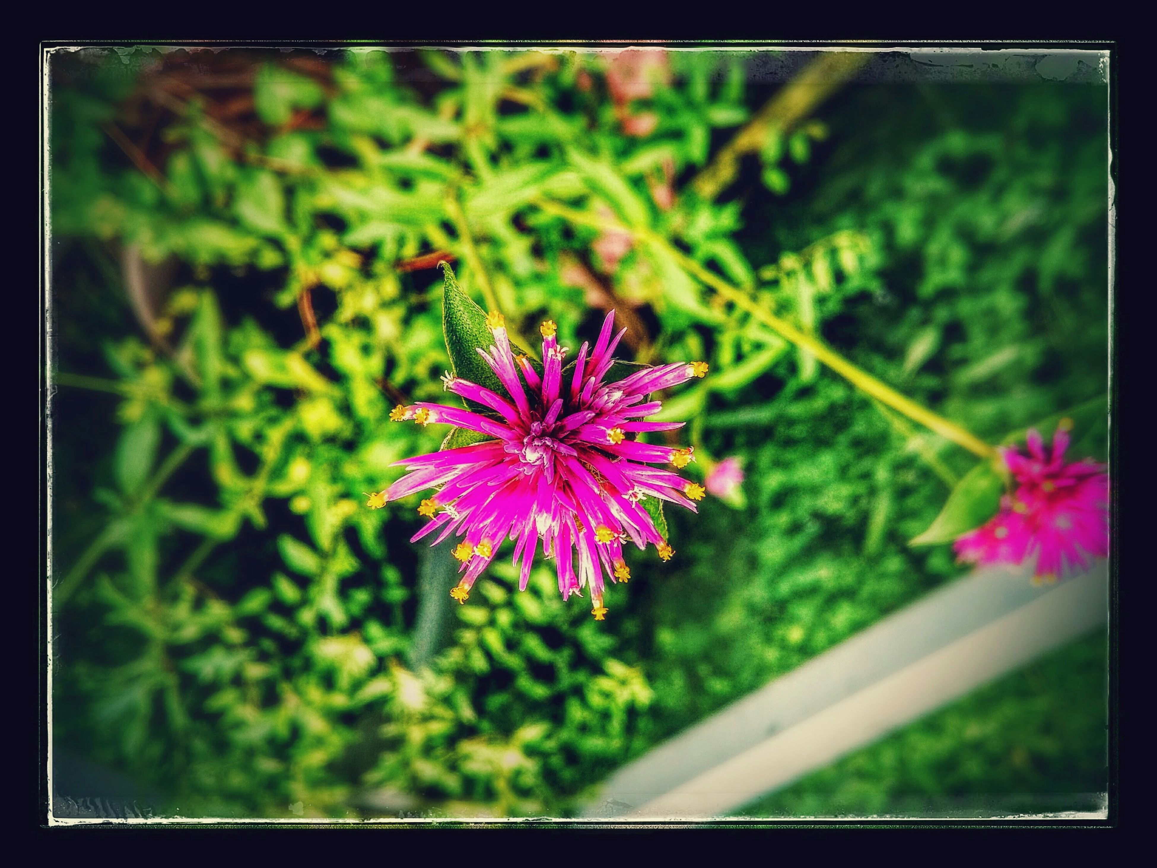 flower, freshness, fragility, petal, growth, transfer print, flower head, pink color, beauty in nature, blooming, nature, auto post production filter, plant, focus on foreground, close-up, purple, in bloom, blossom, pink, park - man made space