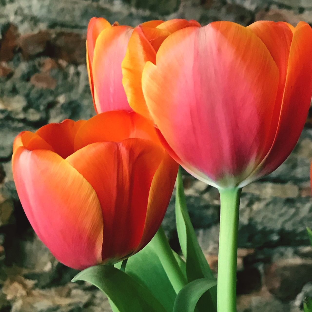 Tulips Red Green Brick Wall Background Close-up Flowers Bunch Of Flowers Flower Petal Freshness Fragility Flower Head Blooming Plant Orange Tulip Nature
