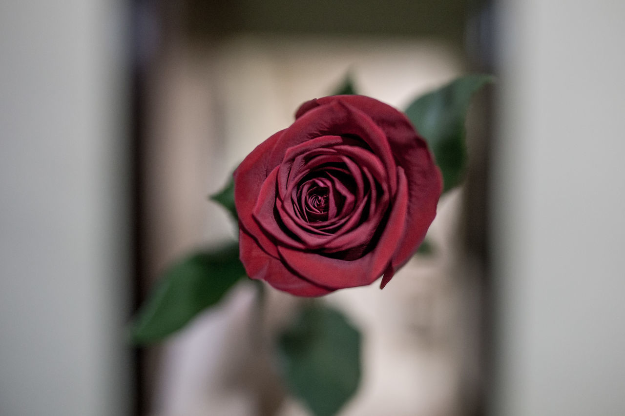 Beauty In Nature Close-up Day Flower Flower Head Fragility Freshness Harry Potter Harry Potter ⚡ Harry Potter ❤ Harrypotter Harrypotterworld Indoors  Nature No People Petal Red Rose - Flower Rose♥ Rose🌹