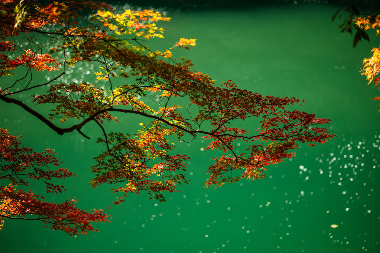 Japanese Maple Tree Against River