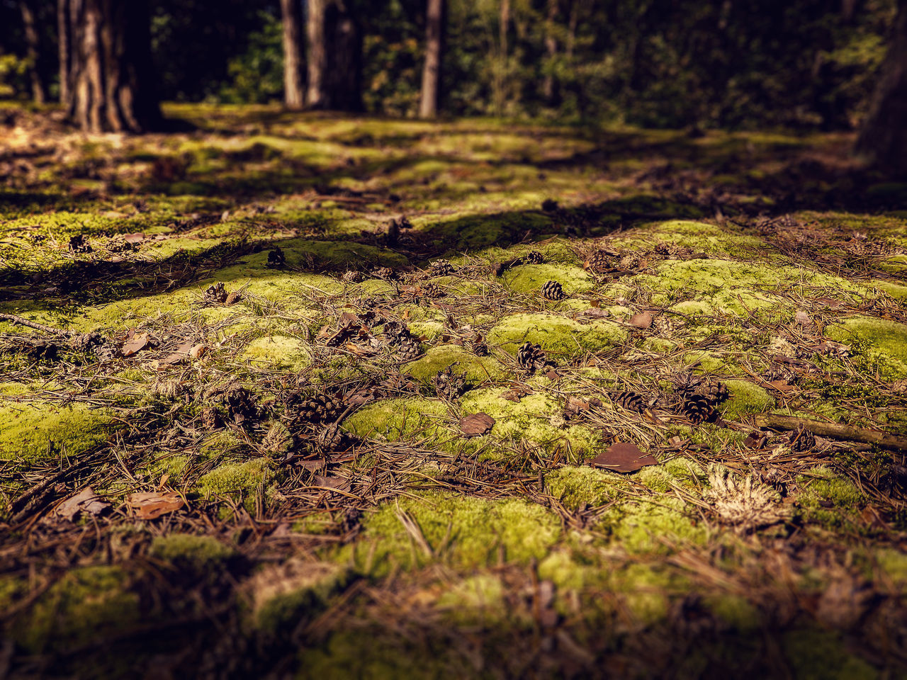 Beauty In Nature Day Forest Fragility Green Green Color Growth Majestic Moss Nature No People Non-urban Scene Outdoors Scenics Selective Focus Surface Level Tourism Tranquil Scene Tranquility Tree Tree Trunk Vacations Wilderness WoodLand