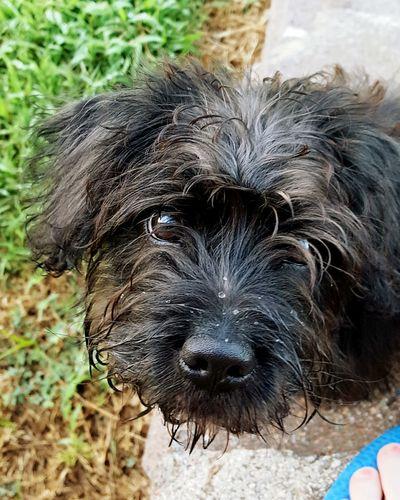 Wet Dog Puppy Love Schnorkie Schnauzer Yorkie
