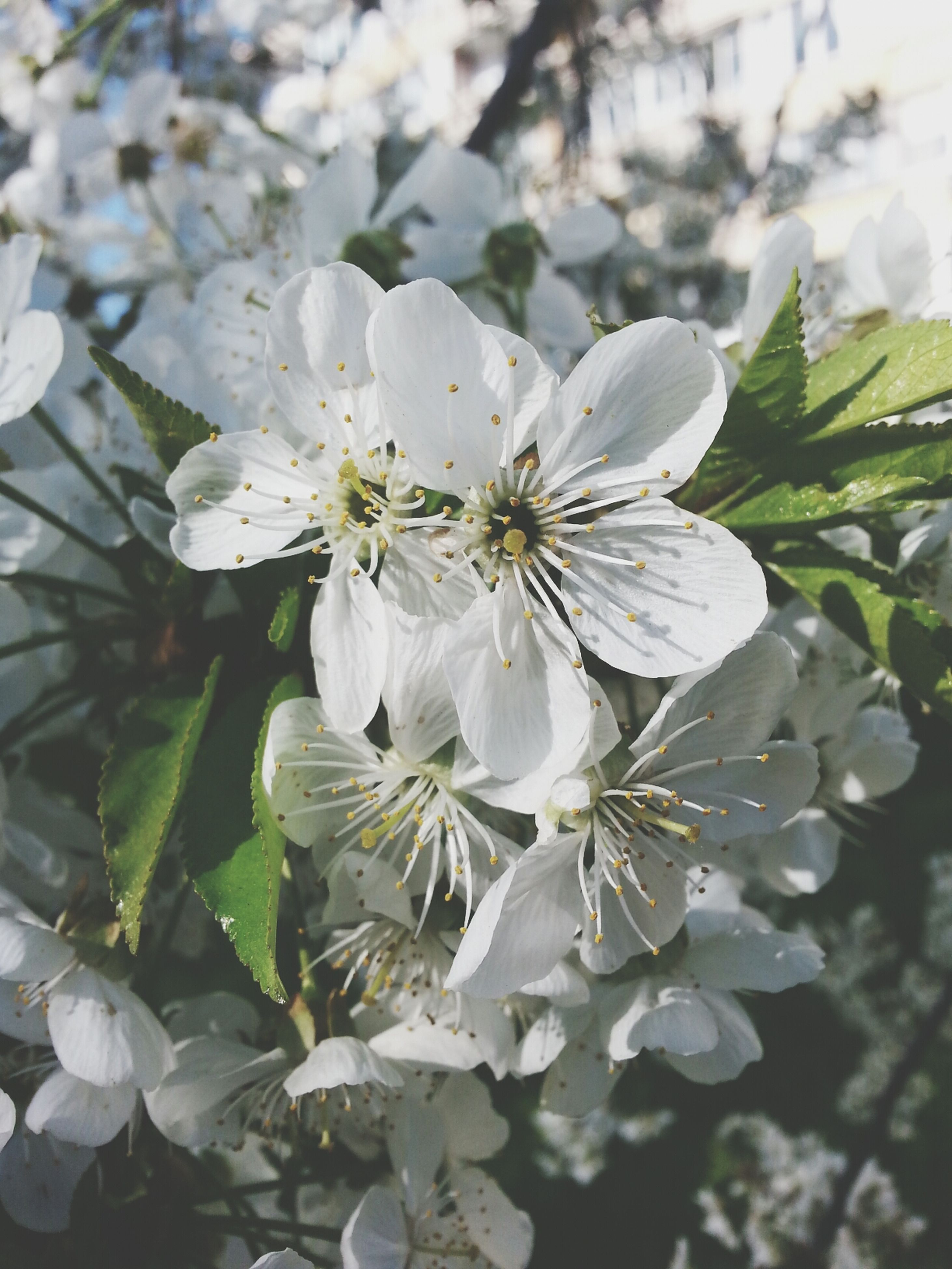 flower, freshness, growth, fragility, petal, white color, flower head, close-up, beauty in nature, plant, focus on foreground, nature, leaf, blooming, in bloom, day, outdoors, no people, pollen, blossom