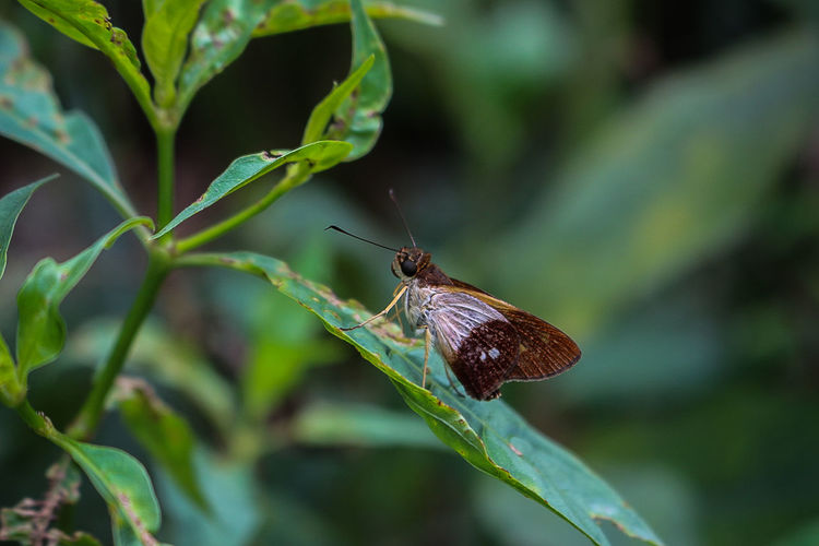 Lepidoptero Animals In The Wild Bug Costa Rica Green Green Color Animal Animal Photography Animal Themes Animals In The Wild Bugs Butterfly Close Up Close-up Cute Day Insect Insects  Leaf Lepidópteros Macro Nature No People One Animal Outdoors Plant
