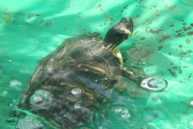 Animal Themes Animals In The Wild Beauty In Nature Close-up Day High Angle View Nature No People Outdoors Reptile Sea Life Sea Turtle Swimming Turtle UnderSea Underwater Water