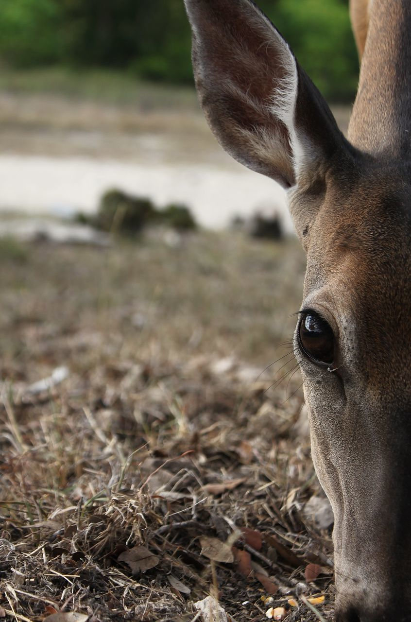 Cropped Image Of Deer Grazing On Field