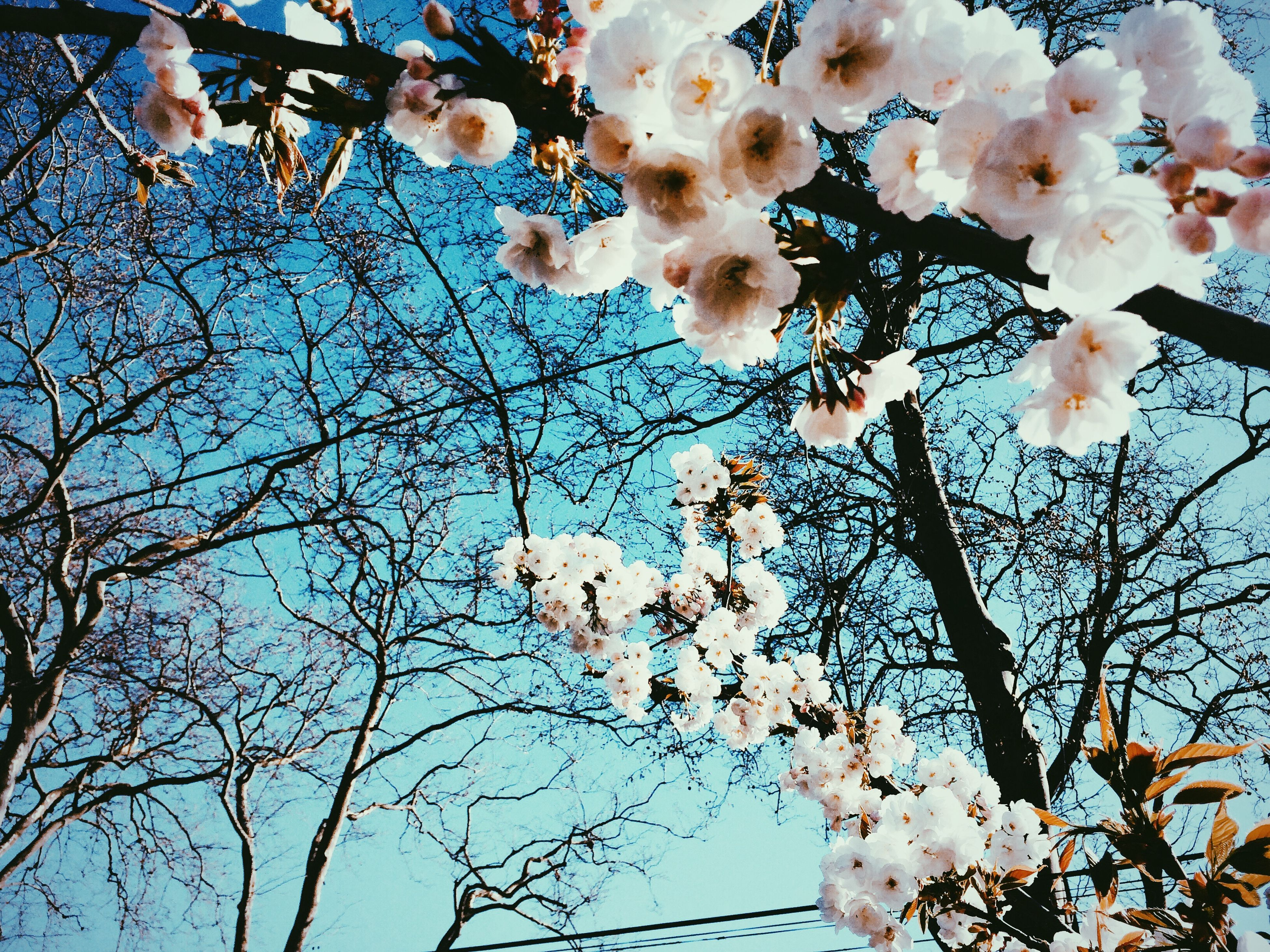 branch, low angle view, tree, flower, growth, nature, beauty in nature, cherry blossom, cherry tree, freshness, blossom, clear sky, blue, day, bare tree, fragility, outdoors, sky, no people, white color