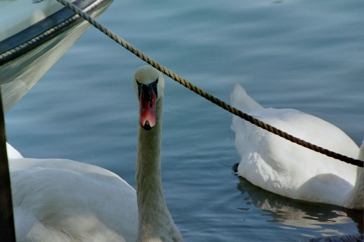 Water Animal Themes Animals In The Wild Animal Wildlife No People Outdoors Nature One Animal Swan Swan Close Up Swans Water Foul