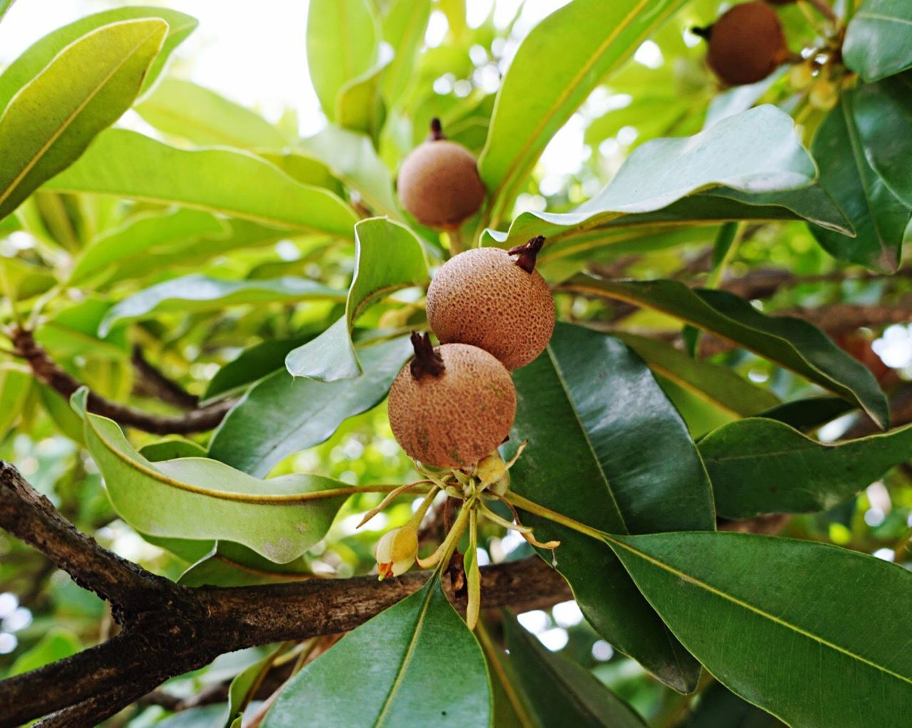 Manilkara zapota Fruit Exotic Fruits Fruits And Vegetables Fruits Photography
