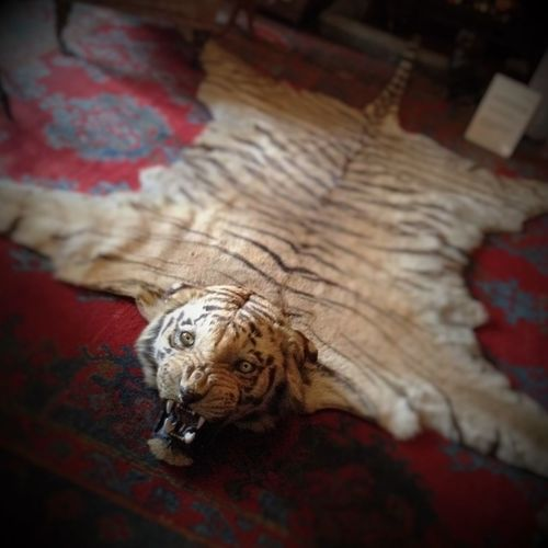 Animal Head  Animal Themes Cat Dead Tiger Hunting Hunting Trophy Looking At Camera No People Tiger Tiger Rug