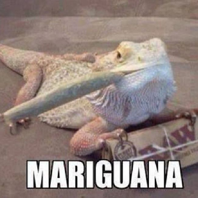 Iguana Mariguana Weed Erva maryjuana marijuna