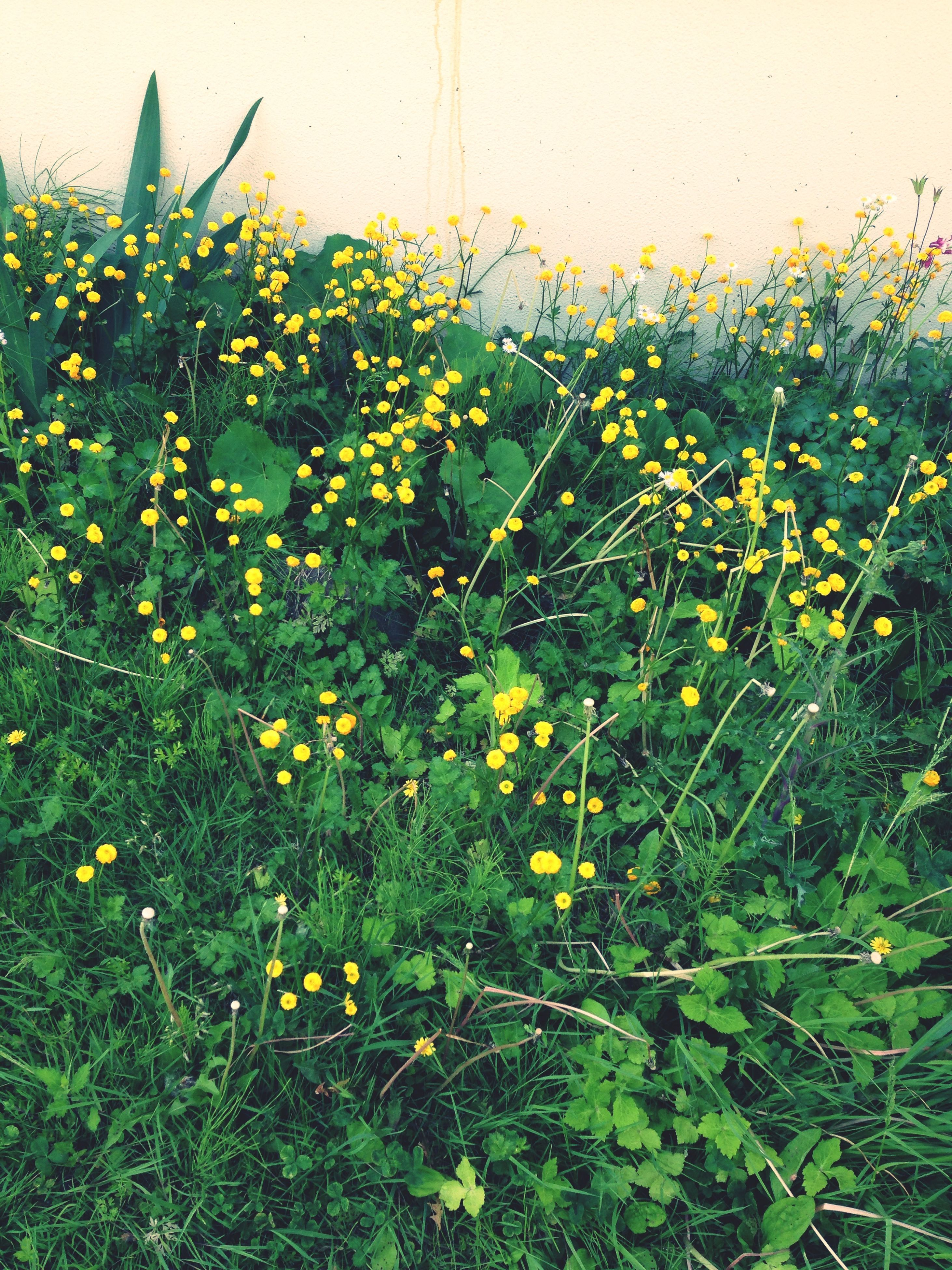 flower, freshness, growth, fragility, yellow, plant, beauty in nature, nature, blooming, petal, field, flower head, stem, in bloom, green color, day, blossom, wildflower, outdoors, close-up