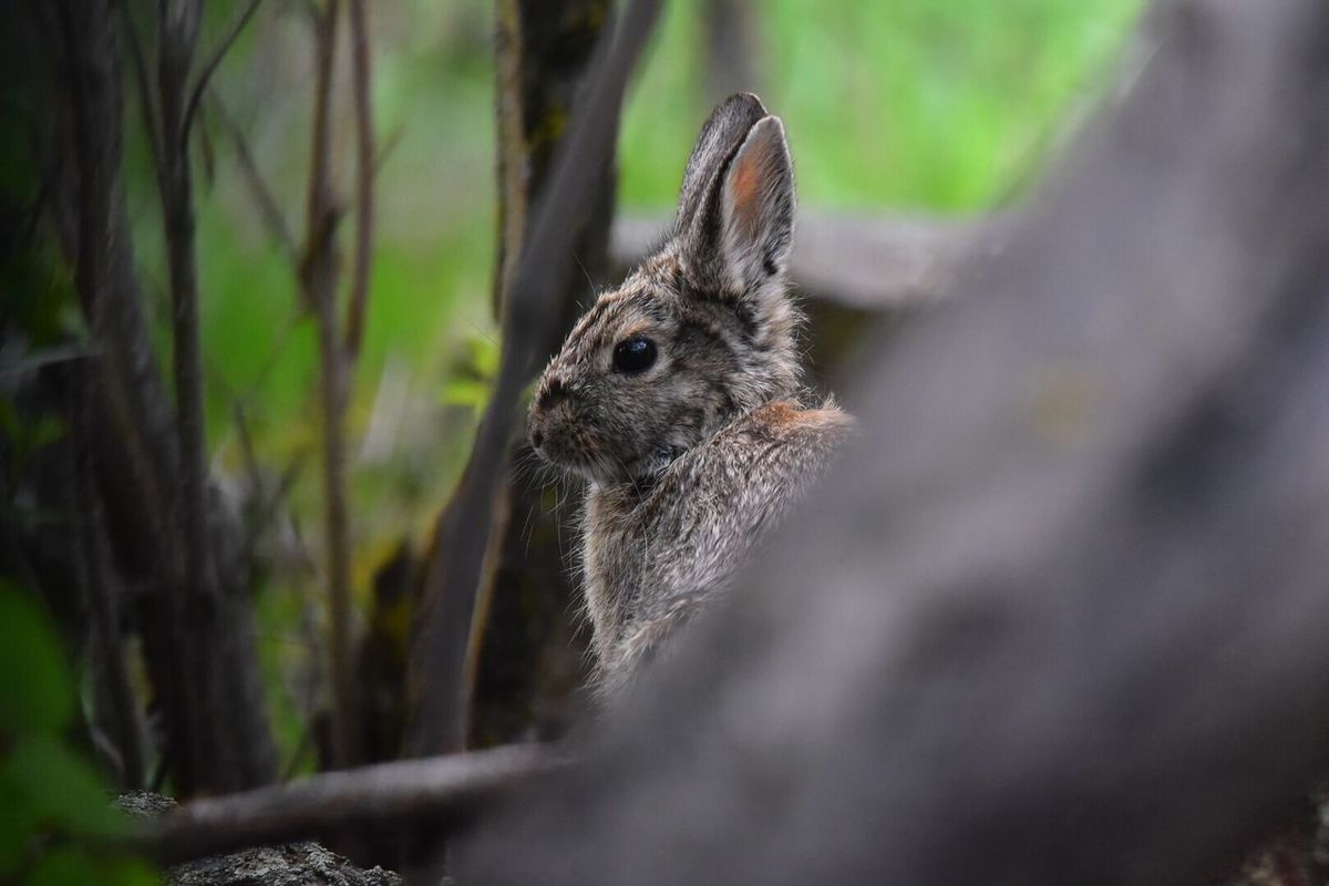 Early morning Cottontail One Animal Animal Themes Animals In The Wild Mammal Nature Animal Wildlife No People Focus On Foreground Day Close-up Outdoors Portrait Rabbit Cottontail