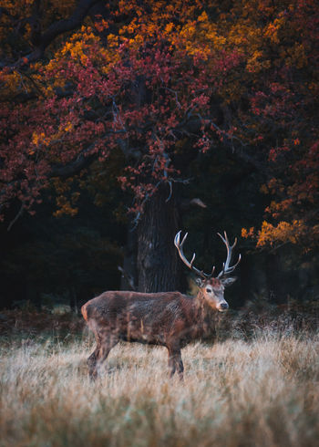 Stag posing in front of autumn colours in Richmond Park Animal Themes Animal Wildlife Animals In The Wild Antler Autumn Beauty In Nature Day Deer Field Grass Mammal Nature No People One Animal Outdoors Red Stag Tree