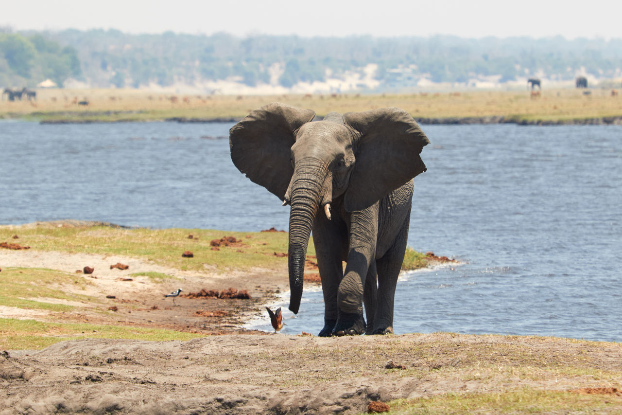 Beautiful stock photos of elefant, elephant, animal themes, animals in the wild, mammal