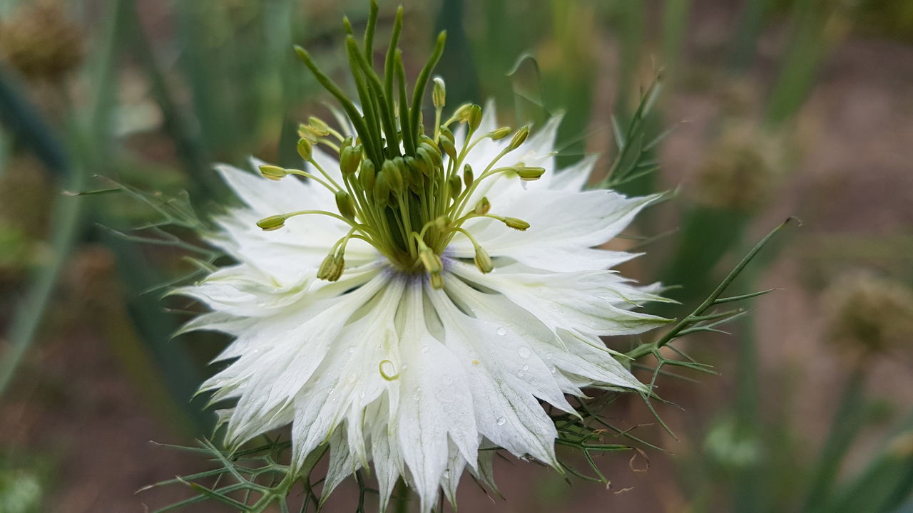 flower, nature, fragility, growth, white color, freshness, close-up, beauty in nature, petal, flower head, plant, no people, focus on foreground, outdoors, blooming, day