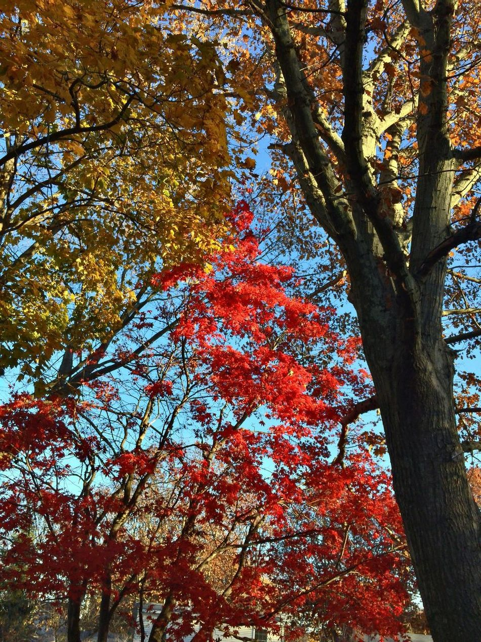 Connecticut 06516 Trees Love My Trees Home Sweet Home🏠 Japanese Maple Sun Through Trees Mother Nature Fall Autumn Home Sweet Home Backyard Japanese Maple Leaves