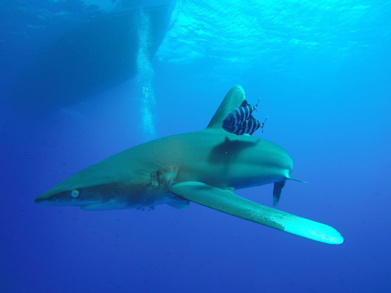 A Longimanus shark checking me out... Animals In The Wild Beauty In Nature Blue Depth Diving Divingphotography Egypt Elegant Fish Longimanus Nature Nature Ocean Pilot Fish Predator Red Sea SCUBA Scuba Diving Sea UnderSea Underwater Underwater Diving Underwater Photography Water Wildlife