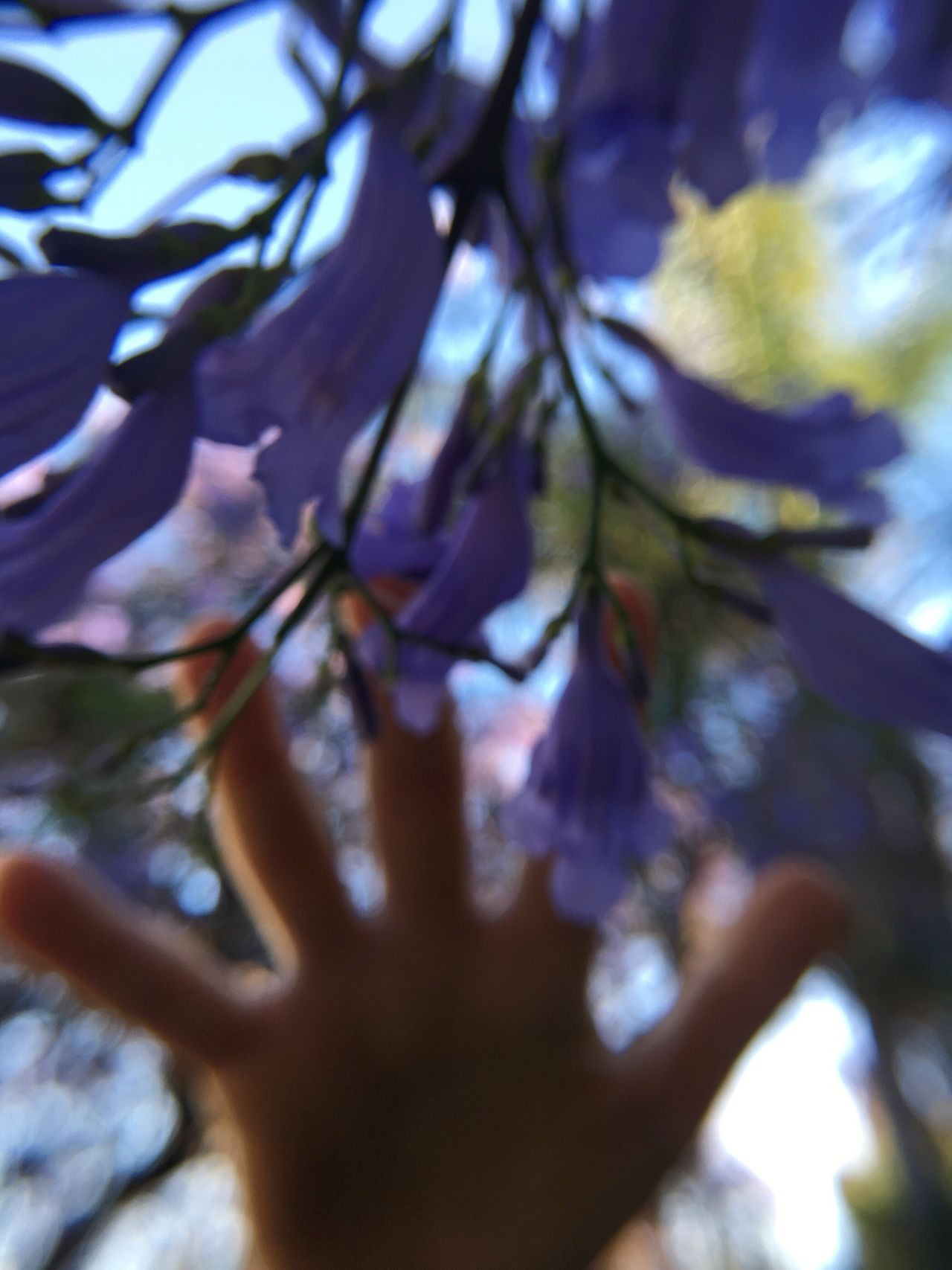 Flower Branch Nature Beauty In Nature Growth Tree Day Fragility Selective Focus Springtime Close-up Low Angle View Outdoors No People Freshness Sky Macro Plastic Lens Dreamy Reach Touch Jacaranda Purple Flower Hand Reaching