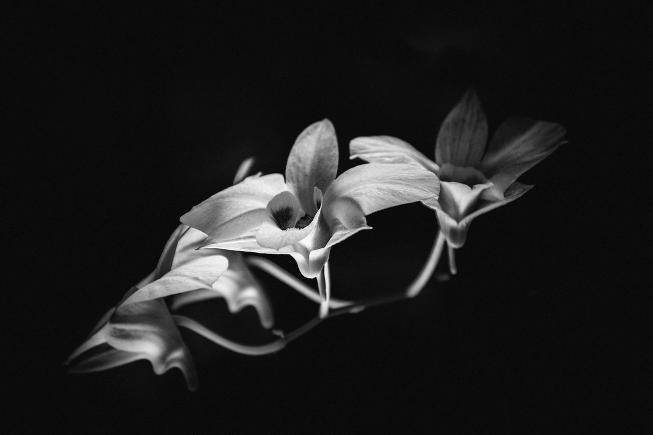 Flower Black Background Studio Shot Petal Flower Head Beauty In Nature Fragility Close-up Nature Growth No People Orchid Outdoors Day Blackandwhite Photography Orchid Blossoms Made By Me Nikon D7200 Hungary AuroraMinna Fine Art Photography