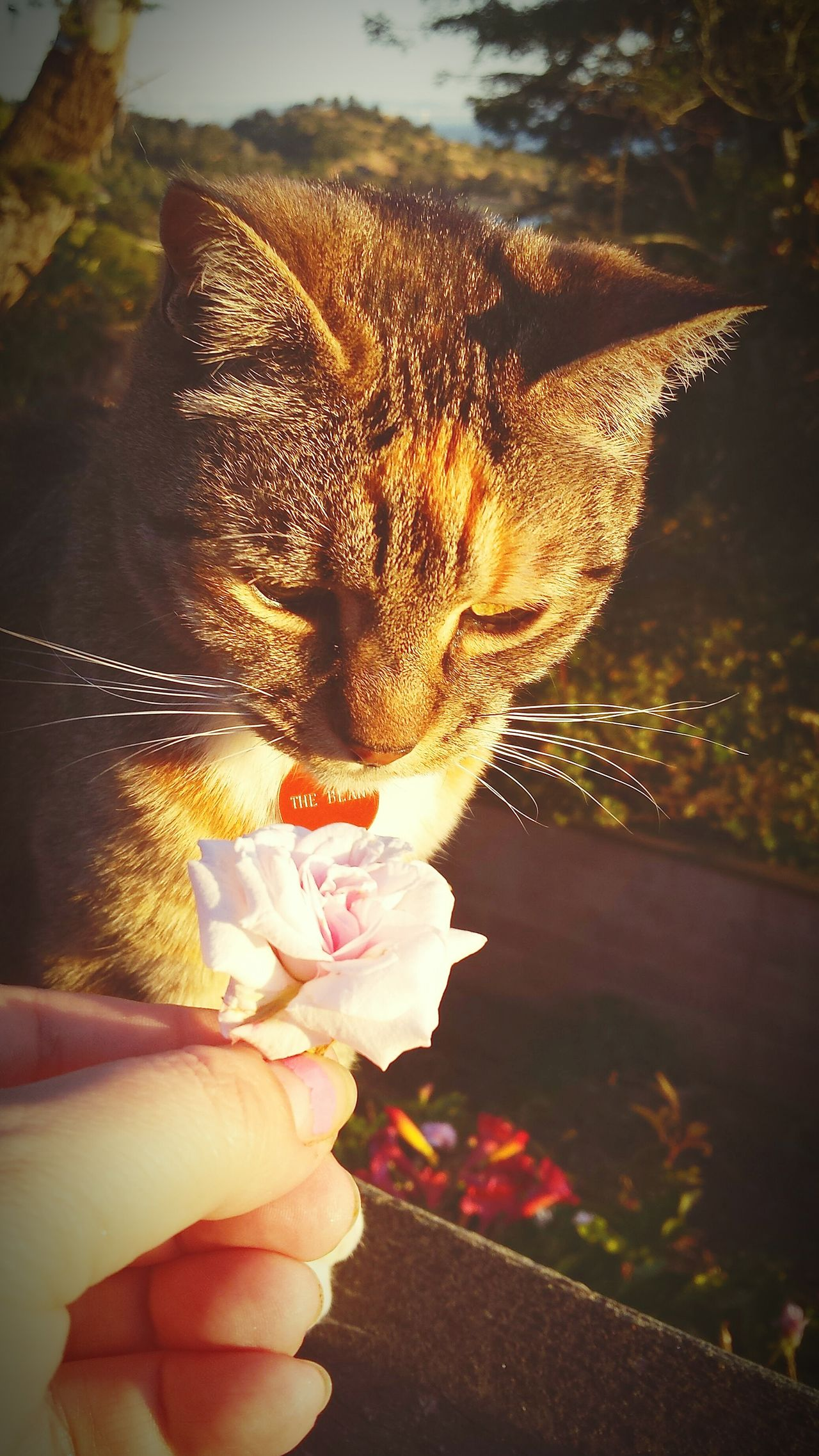 A rose offering to The Bean cat at sunset. Rose Flower Cat Offering California Sunshine California Dreaming California Sunset California Love Magic Hour Catlady Showcase July 43 Golden Moments