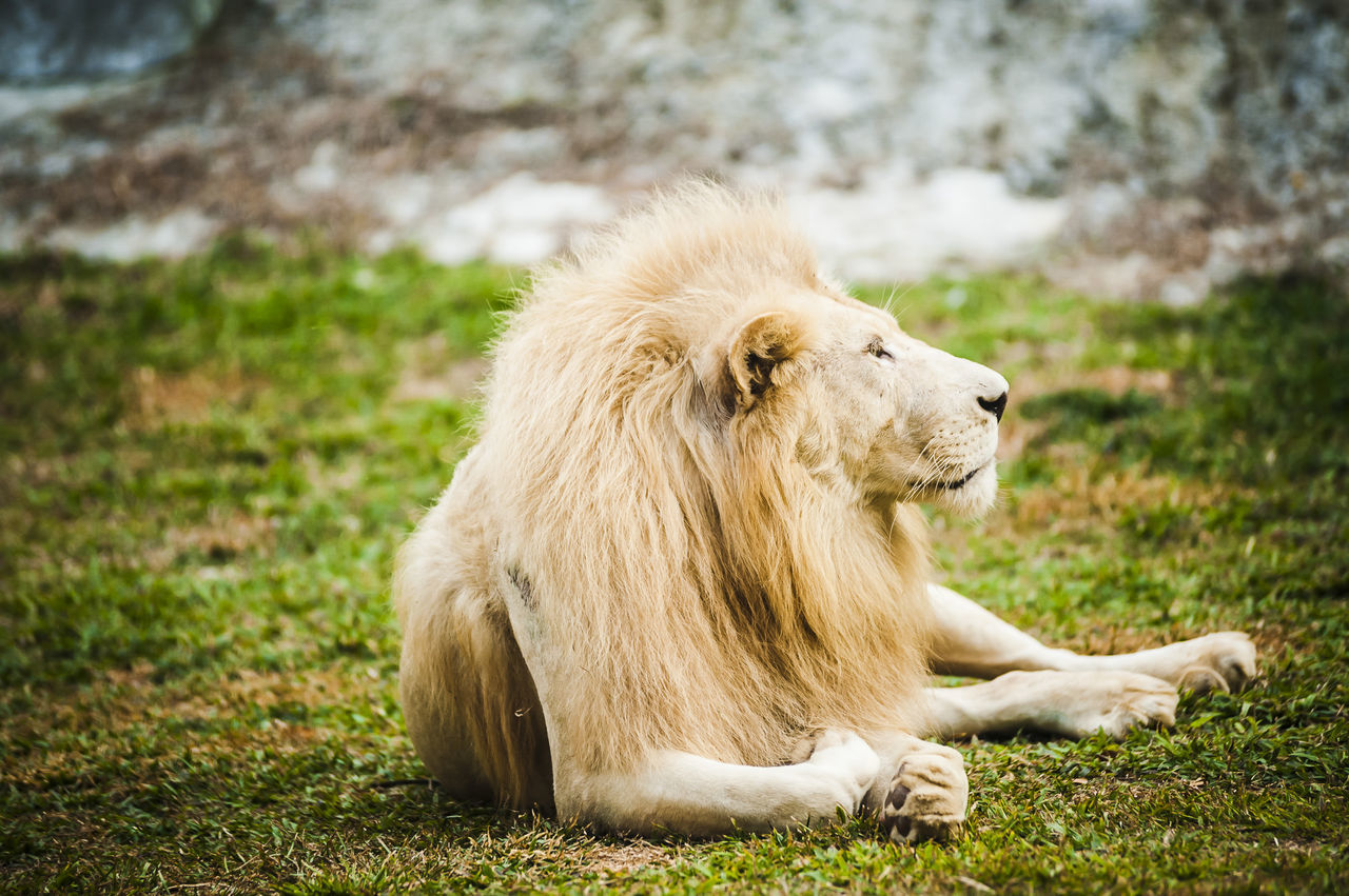 Animal Cat Getty Images Gettyimages Hunter Mammal Nat Geo Wild Natgeo National Geographic Nature Outdoors Predator Safari Park Whisker White Lion Wildlife Zoo