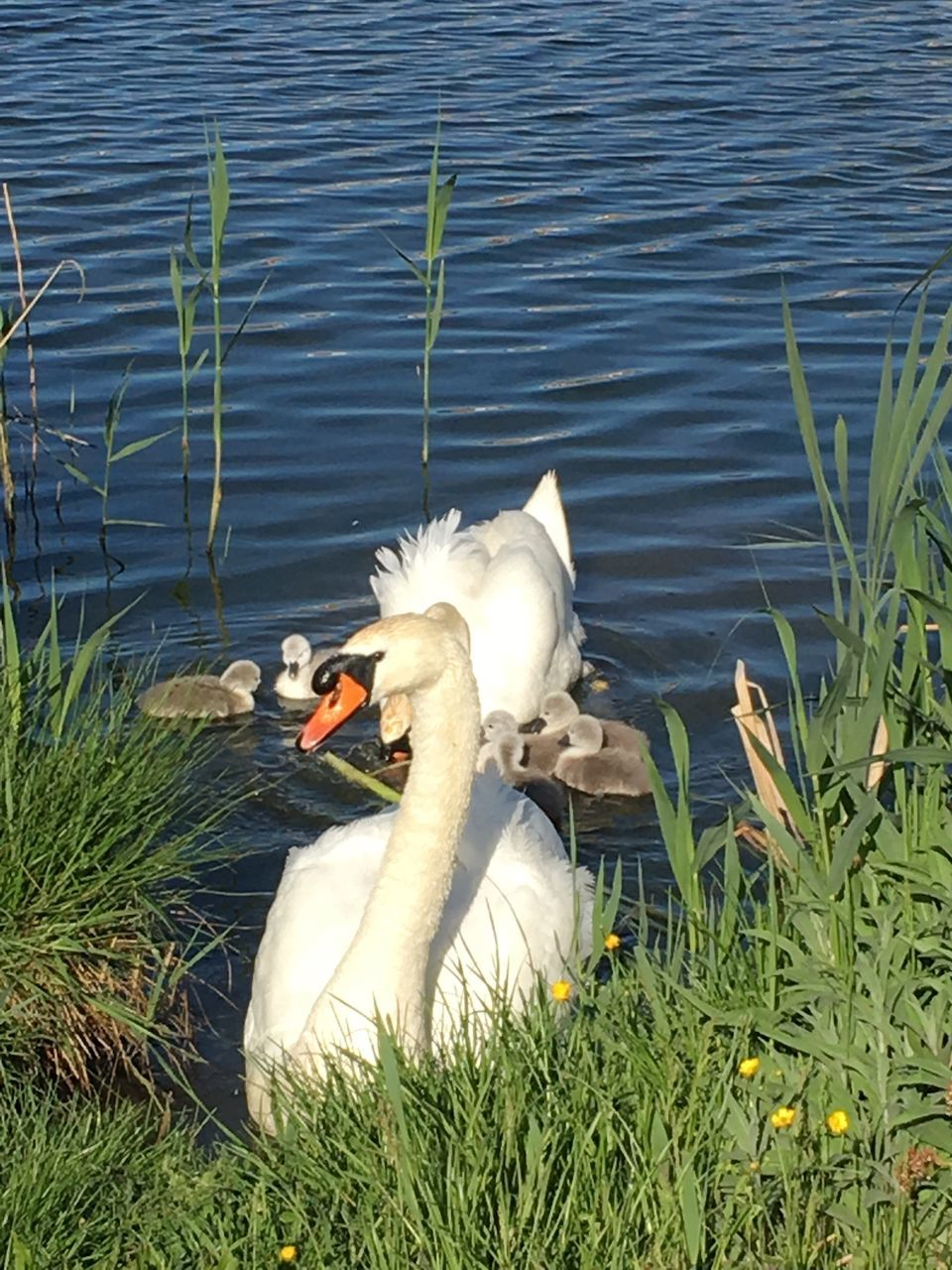 animal themes, animals in the wild, lake, swan, nature, grass, water, bird, white color, water bird, animal wildlife, day, one animal, no people, outdoors, swimming, beauty in nature