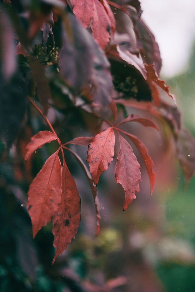 Autumn 2016 Autumn Autumn Colors Beauty In Nature Branch Dof EyeEm Nature Lover Eyeem Sweden Focus On Foreground Fujifilm Fujilove Höst Klättervildvin Kungshamn Leaf Leaves Outdoors Parthenocissus Quinquefolia Red Rott Sotenäs Sverige Sweden Taking Photos XF56mmAPD Xpro2
