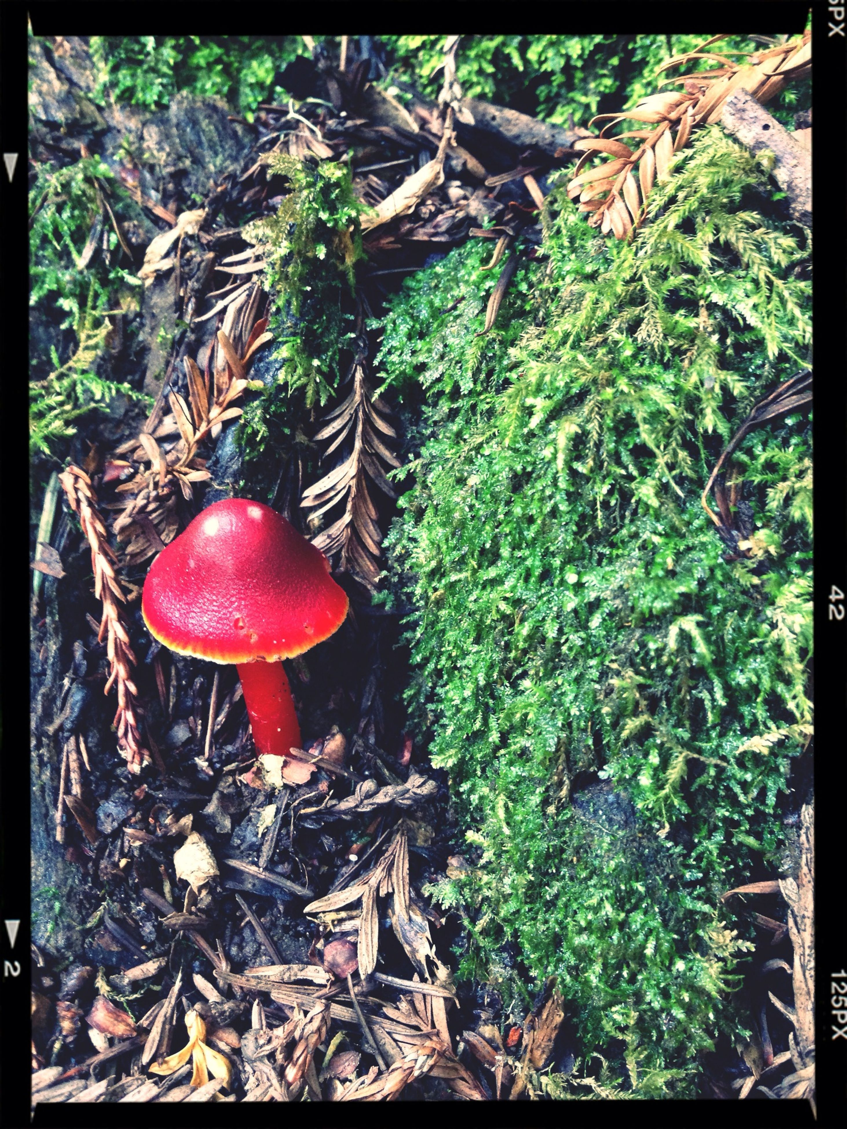 transfer print, auto post production filter, red, growth, mushroom, close-up, leaf, nature, forest, fungus, day, tree, high angle view, plant, no people, outdoors, wood - material, food and drink, tree trunk, field