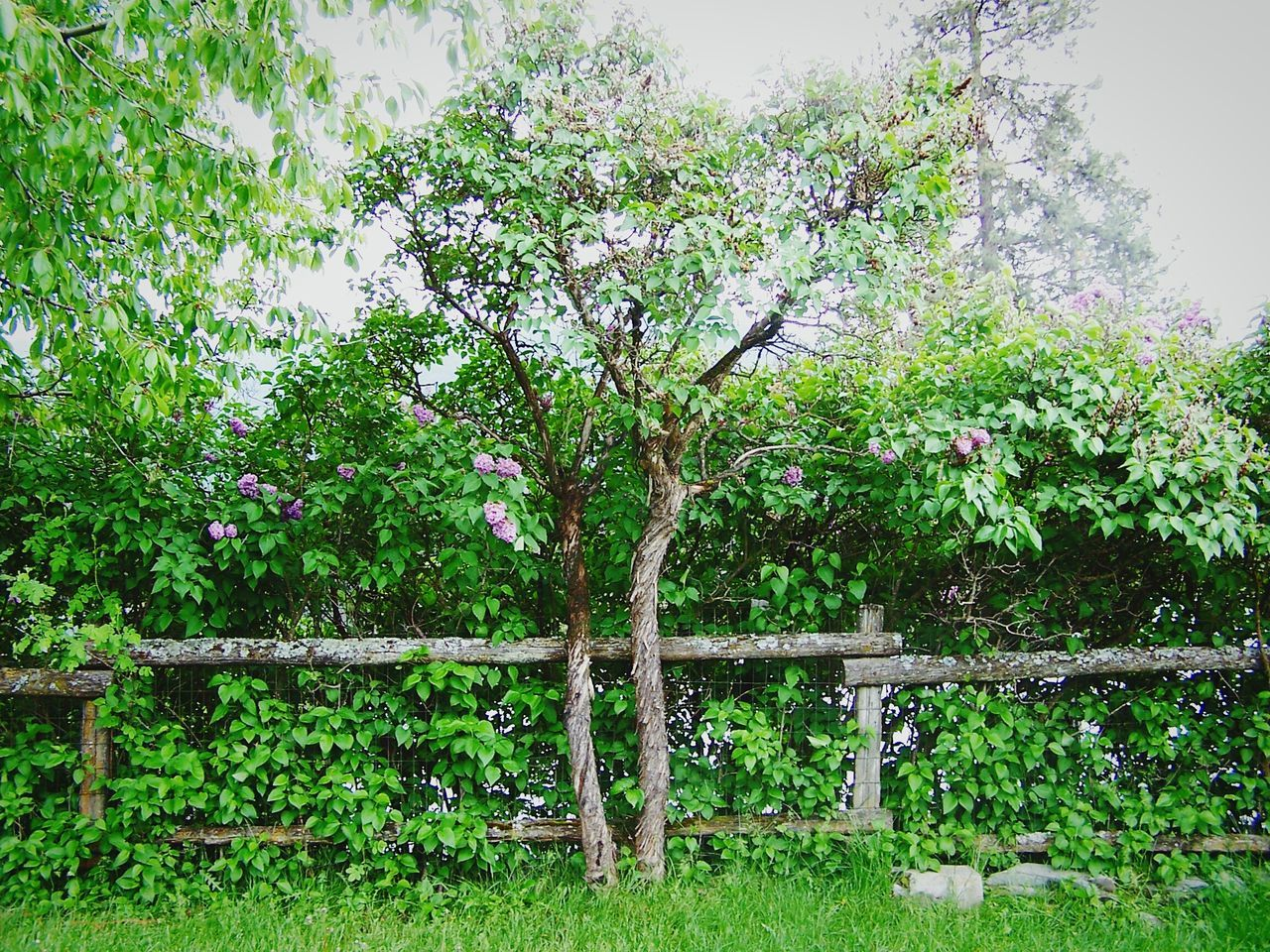 Wooden Fence Small Tree Calming Pleasing The Essence Of Summer Montana Nature's Diversities Montana Usa Purple Flowers Magical