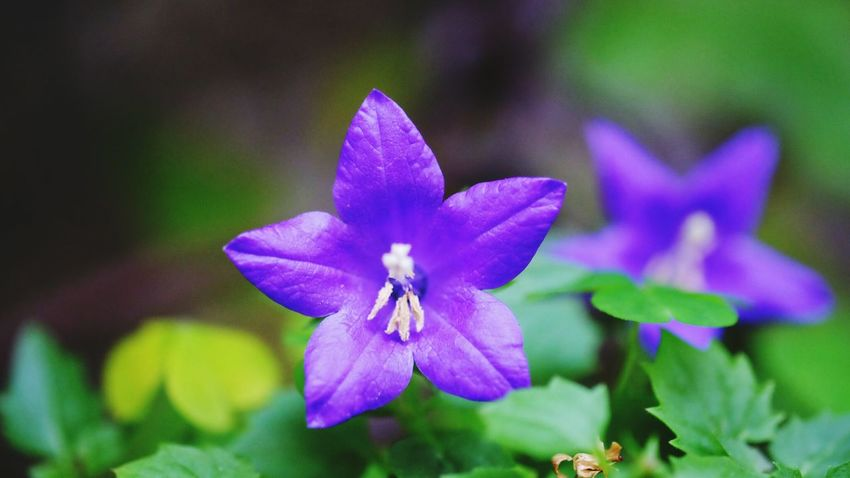 Flower Purple Fragility Petal Nature Beauty In Nature Flower Head Close-up Plant