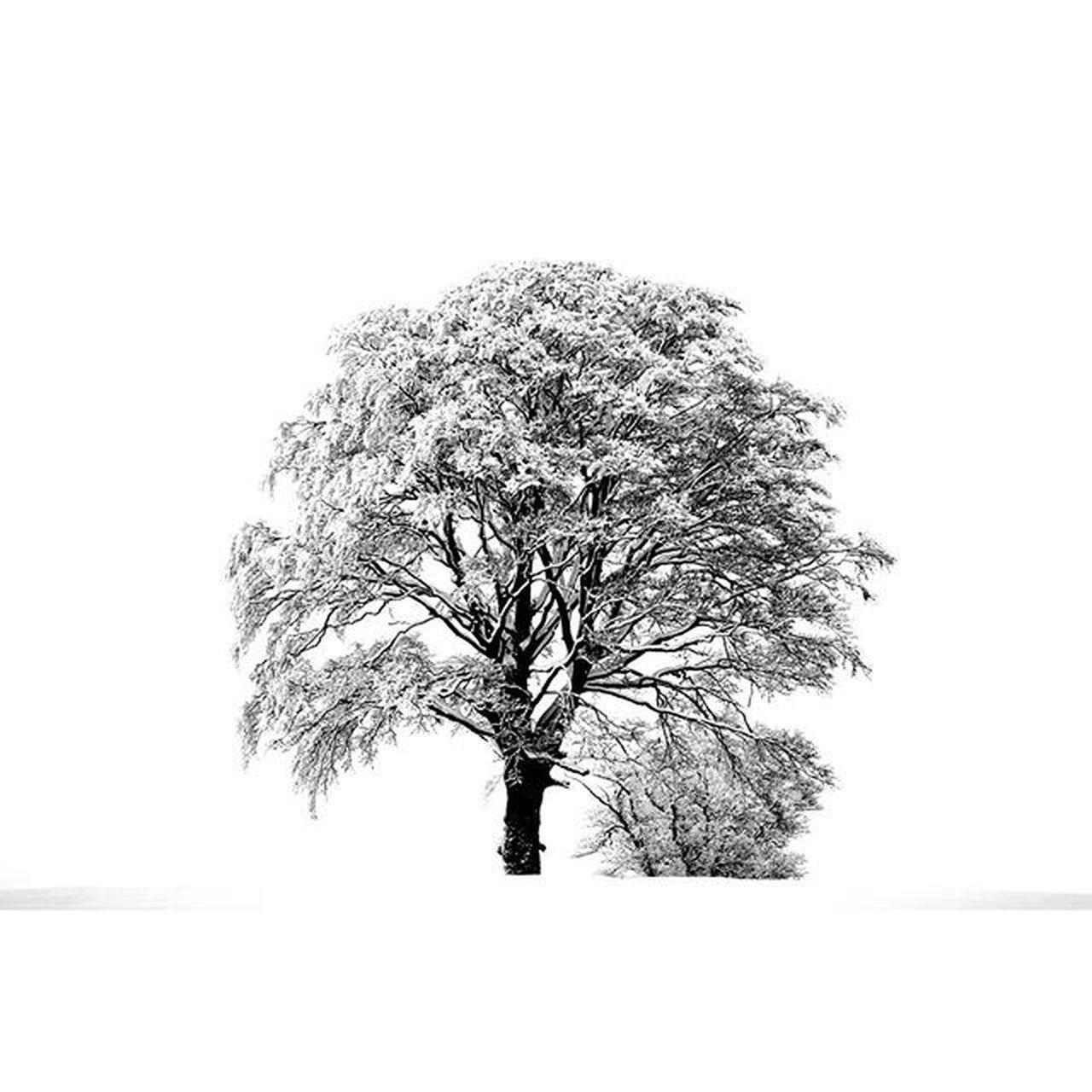 Tree Winter Rural Rurallife  Winterwonderland Snow White ScottishBorders Scotland Lifeasiseeit Flora Johnnelson Arboreal Arborealbeauty Branches Blackandwhite Mono