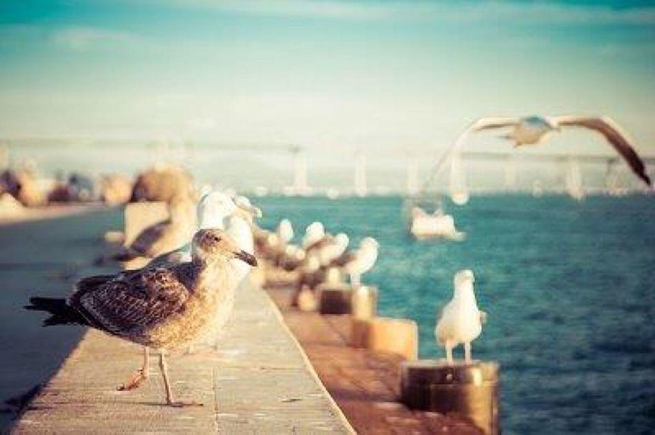 Seagulls with the Coronado Bridge behind them. San Diego Coronado Coronado Bridge California California Love California Coast California Dreaming San Diego Embarcadero Ocean Oceanlife Sea Sea And Sky Seaside Seascape Seascape Photography Coastline Coast Coastal Seagull Seagulls SEAGULL IN FLIGHT Seagulls And Sea