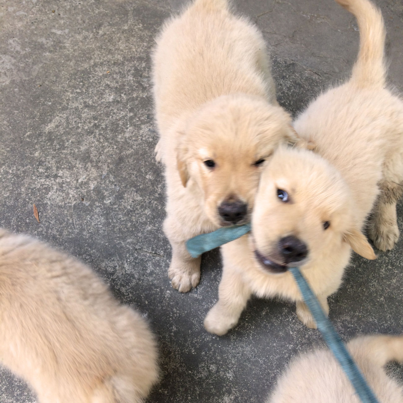Animal Themes Close-up Day Dog Domestic Animals Funny Golden Retriever Goldenretriever Looking At Camera Mammal No People Outdoors Pets Playing Portrait Puppies Puppy Togetherness Young Animal