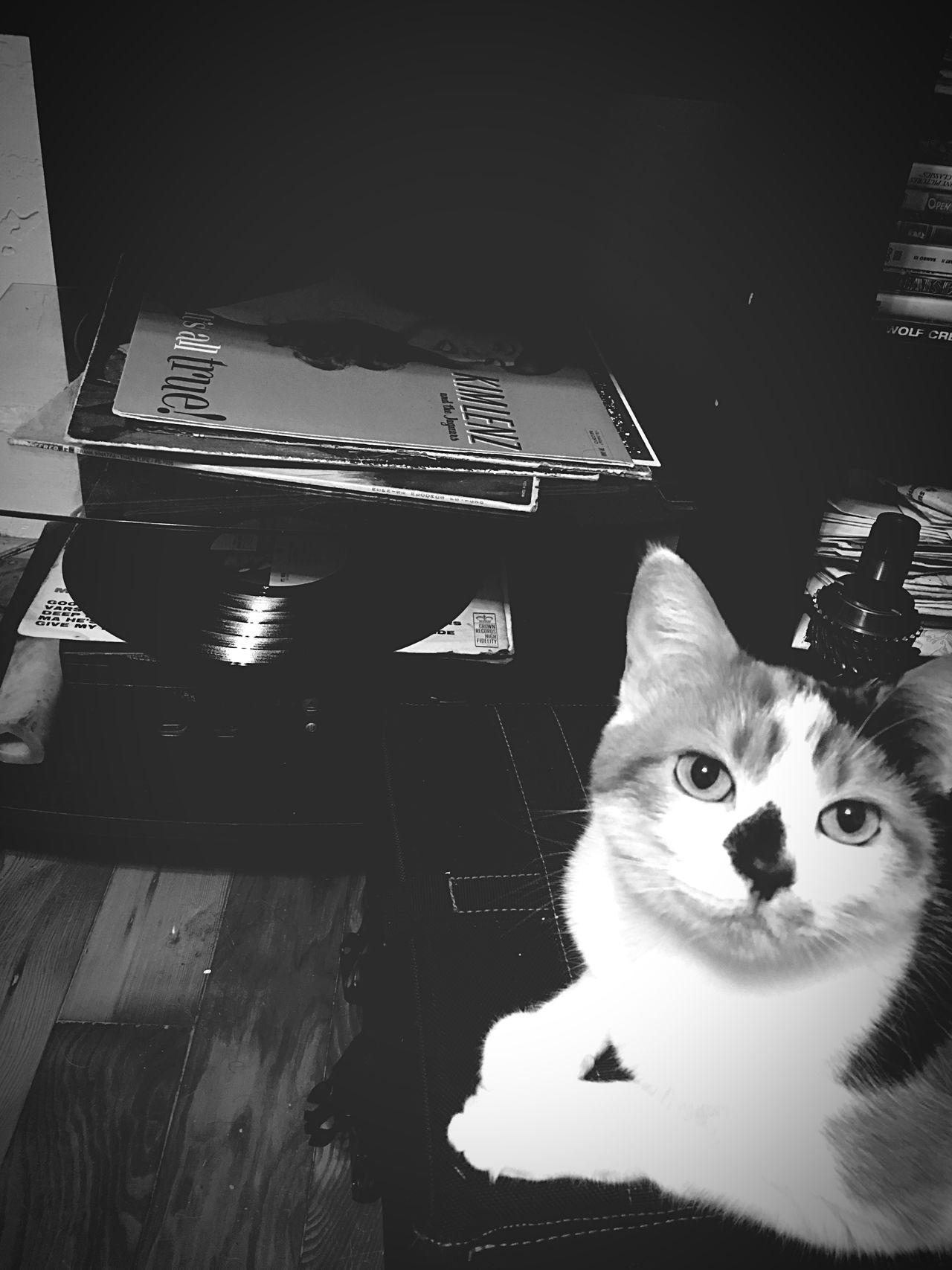 La gatita Irie Pets Domestic Cat Feline Alertness Gatita  Gato Furbaby Vinyl Baby Cat Calico Monochrome Monochrome Photography