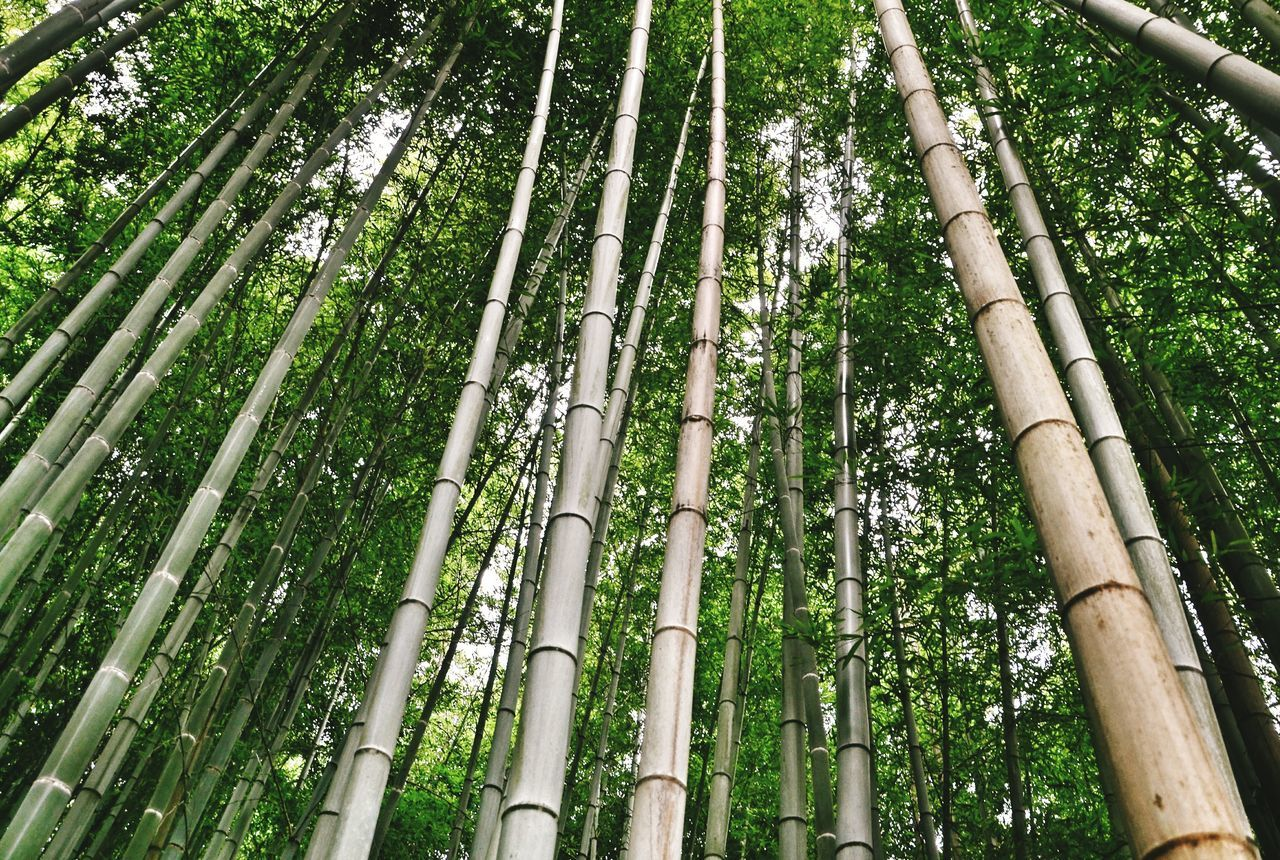 Bamboo Forest, Kyoto, Japan Lanscape Photography Kyoto,japan Bambu Forest Kyoto Forest Trees Tree Green Leaf Greenary Japan Beauty In Nature Growth Bamboo Tree... Bamboo Forest Bamboo Leaf Bambooforest Bamboo - Plant Low Angle View Tree Nature Green Color No People Beauty In Nature EyeEmNewHere