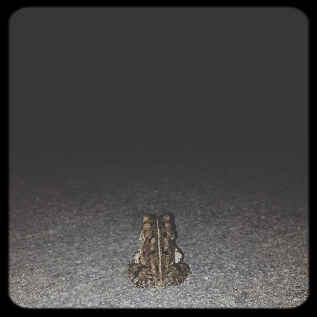 Frog Toad Amphibian Fowlers Toad