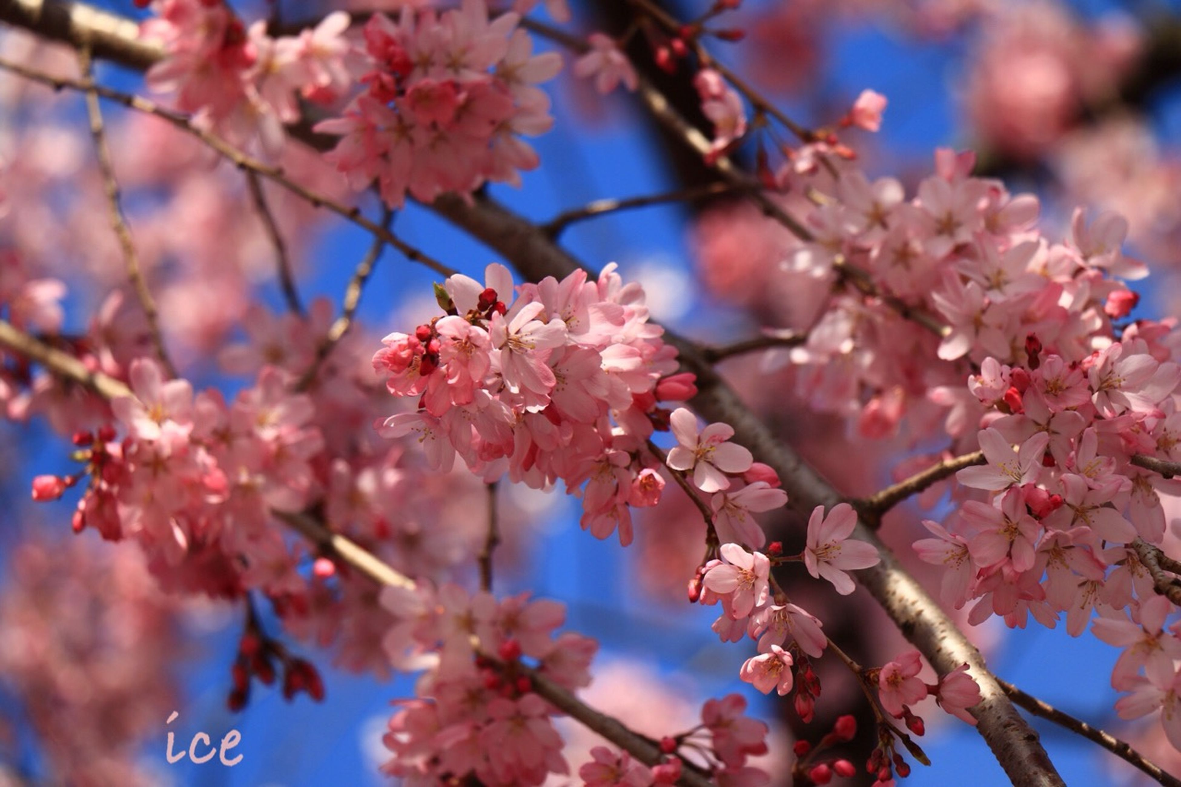 flower, branch, tree, freshness, growth, cherry blossom, cherry tree, low angle view, beauty in nature, blossom, fragility, nature, pink color, fruit tree, twig, springtime, focus on foreground, orchard, in bloom, blooming