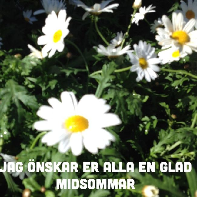 Midsommar Midsummer Sverige Stockholm Daisy Flowers Holidays Eye4photography  EyeEm Best Shots