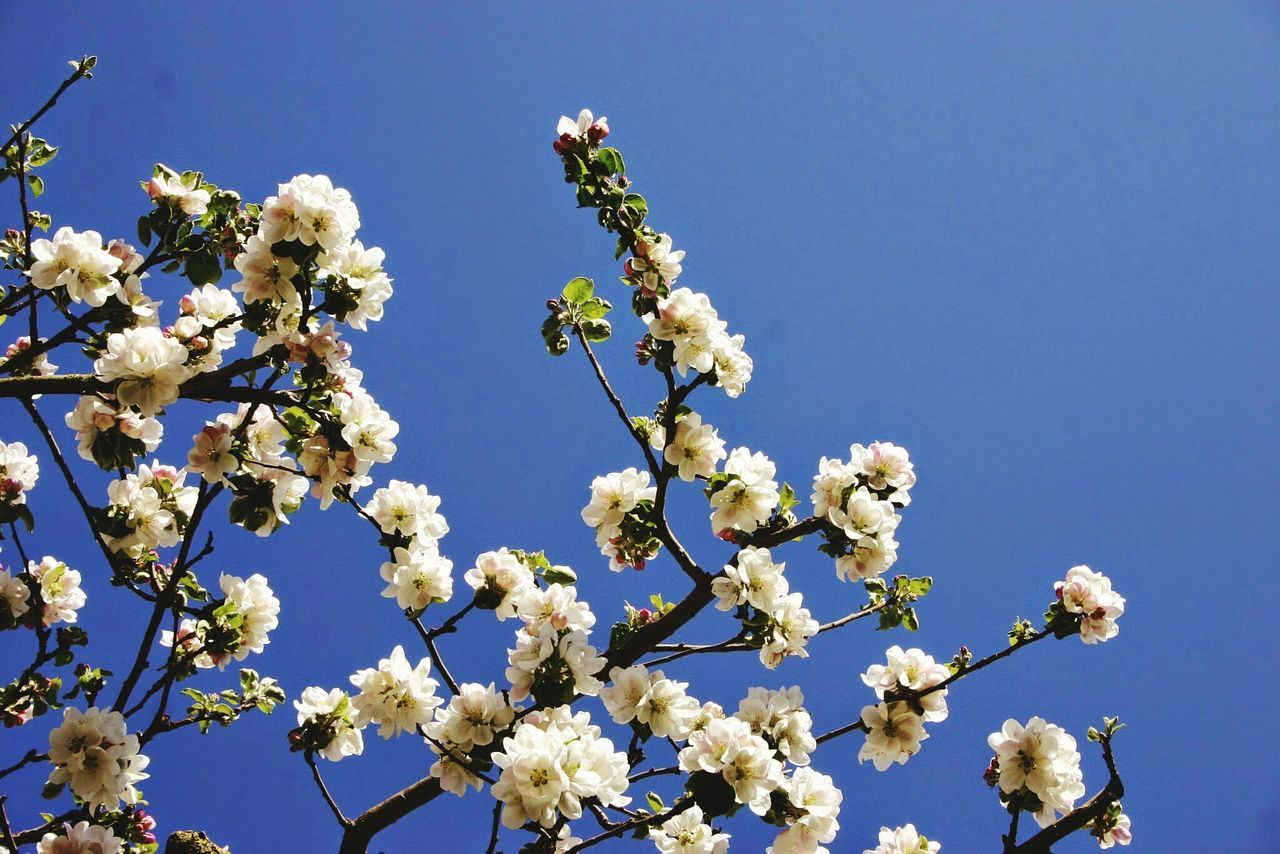 flower, fragility, nature, growth, blossom, white color, beauty in nature, botany, springtime, low angle view, freshness, apple blossom, day, no people, tree, outdoors, branch, clear sky, close-up, blue, flower head, sky