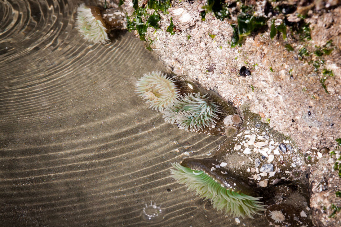 low tide revelations of a group of anemones Anenomes Beauty In Nature Day Fragility Green Green Color Growth High Angle View Low Tide Low Tide Revelations Nature Needle - Plant Part Outdoors Plant Softness Spiked Tranquility Uncultivated Underwater Plants